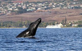 estocada de cabeça de baleia jubarte foto
