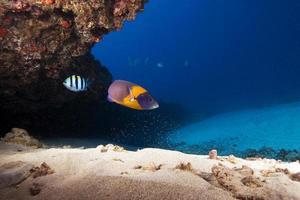 peixes tropicais no recife de coral de Havaí foto