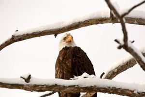 águia empoleirada na árvore foto