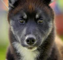 filhote de cachorro husky foto