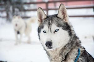 cão husky siberiano foto