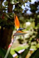 pássaro do paraíso foto