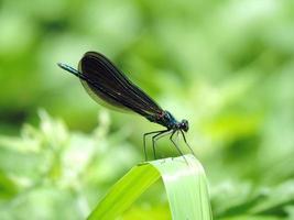 libelinha de asa de jóia de ébano (calopteryx maculata)