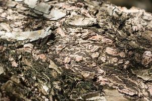casca de árvore close-up. fundo de madeira foto