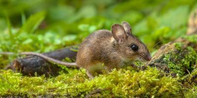 rato de madeira andando no chão da floresta foto