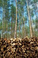 pilha de madeira empilhada em uma floresta de pinheiros foto