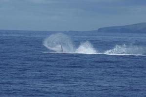 barbatana lançando diversão com baleias jubarte foto