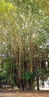 árvore de banyan foto