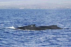 parte traseira de duas baleias jubarte foto