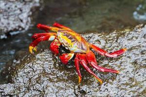 caranguejo sally lightfoot nas ilhas galápagos foto
