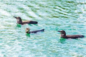 três pinguins de galápagos foto