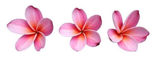 flores de frangipanis foto