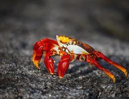 caranguejo de sally lightfoot foto