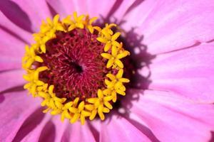 closeup de flor rosa
