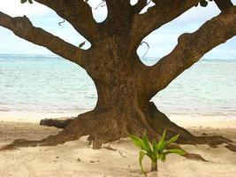 árvore de praia - costa norte foto