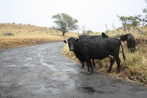 touro em uma estrada rural