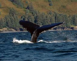 solha da baleia jubarte foto