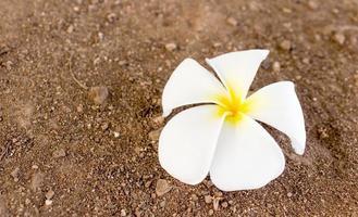 frangipani de flores tropicais foto