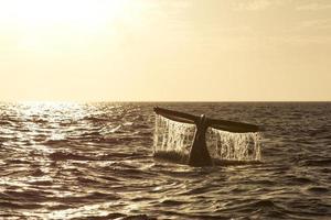 cauda de baleia jubarte ao pôr do sol foto