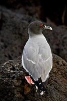 andorinha gaivota nas ilhas galápagos