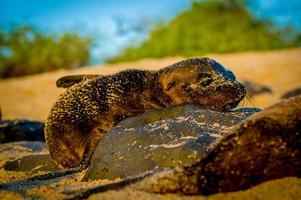 leão-marinho bebê ao pôr do sol nas Ilhas Galápagos