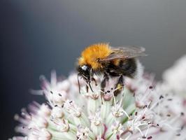 abelha em uma flor rosa, fundo cinza foto
