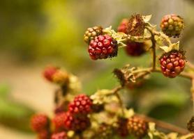 bagas, amoras em um arbusto, fundo de colheita de outono foto
