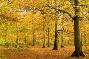 floresta de faias na folhagem dourada
