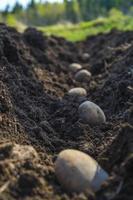 batatas prontas para crescer.