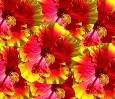 flores de hibisco havaí foto