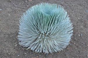 planta ahinahina (silversword) em haleakala, havaí