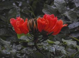 árvore tulipa africana foto