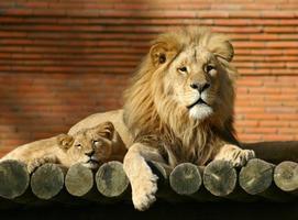família leão foto