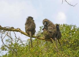 família de babuíno em uma árvore foto