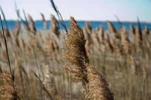 gramíneas do mar outono perto da costa foto