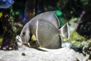 peixe anjo cinzento da família pomacanthidae foto