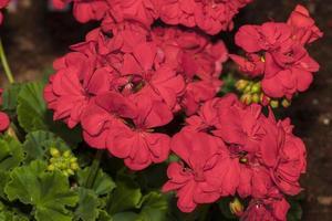 pelargonium zonale (família: geraniaceae) foto
