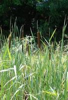 juncos do pantanal foto