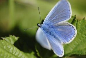 borboleta azul (família lycaenidae) na luz solar. foto