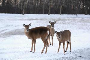 família de renas na floresta foto