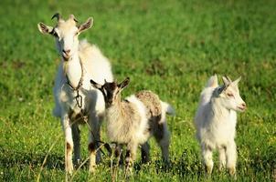 família de cabras em um campo verde foto