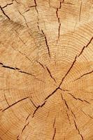 seção transversal de árvore velha