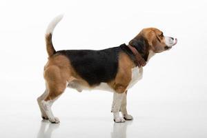 retrato de beagle foto