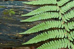 folhas de samambaia em um fundo de madeira.