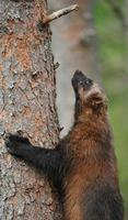 árvore de escalada do wolverine - finlândia. foto