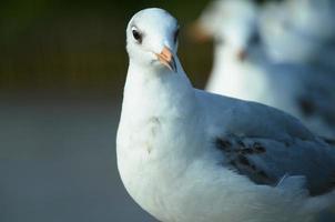 retrato de gaivota. foto