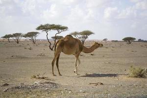 retrato de camelo foto
