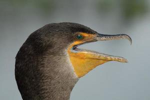 retrato de corvo-marinho foto