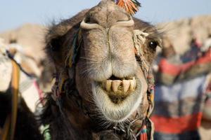 retrato de camelo