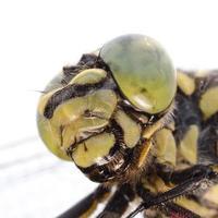 retrato de libélula foto